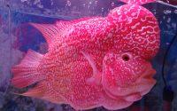 kontes kecantikan ikan louhan